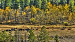 Colorado-Free-Range-Black-Angus-Cattle-in-Autumn.JPG