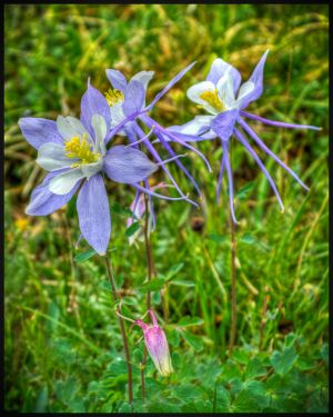 Columbine-Colorado-State-Flower-Vertical-Format.JPG