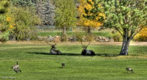 Elk-and-Geese-in-Rocky-Mountain-National-Park.JPG