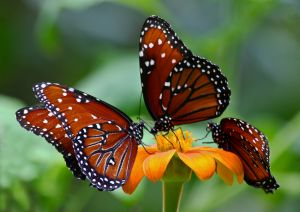 Majestic-Monarchs-Three-Butterflies-on-Feeding-on-Orange-Flower.JPG