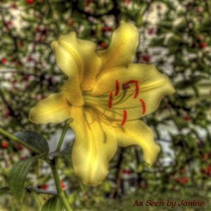 1w-Luscious Lavish Lily Yellow Day Lily with Bright Red Pistils.jpg
