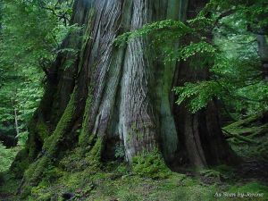2j-Old Growth Cedar Heater Harbor Gwaii Haanas Queen Charlotte Islands.jpg