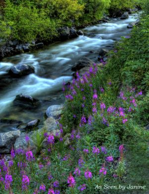Purple Lupine Along South Boulder Creek
