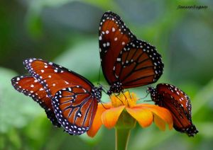 Majestic Monarchs Three Butterflies on Feeding on Orange Flower