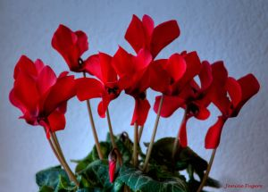 Cyclamen Flowers Vivid Red Blossoms