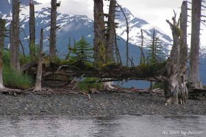 Circle of Life - New Trees Growing Out of an Old Tree in Prince William Sound, Alaska