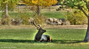 Elk Resting in Shade with Fall Foliage in Rocky Mountain State Park