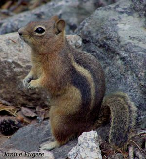 Chipmunk in Rocky Mountain National Park