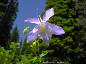Colorado Columbine Solo Blossom