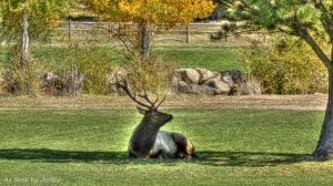 Elk Resting in Shade with Fall Foliage in Rocky Mountain National Park