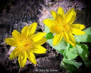 Heartleaf Arnica - Arnica cordifolia